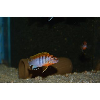 Labidochromis sp. hongi red top schweden 3 - 4 cm