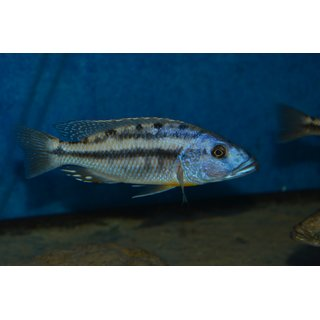 Tyrannochromis nigriventer South  6 - 7 cm
