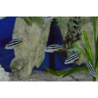 Melanochromis sp. northern blue WFNZ 5 - 6 cm