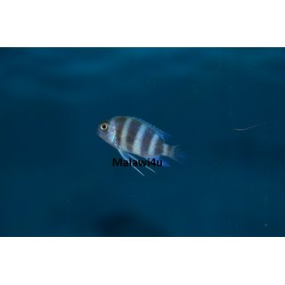 Cyphotilapia frontosa Blue Zaire Moba 3 - 4 cm
