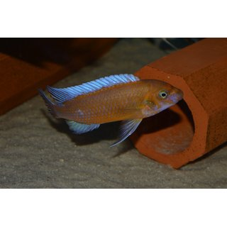 Labeotropheus trewavasae chilumba orange 3 - 3,5 cm