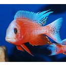 Aulonocara fire fish Ice Blue  4 - 5 cm